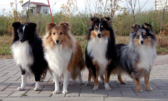 Шелти (шетландская овчарка): характер и фото собаки, все об уходе